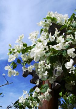 Popínavé rostliny na pergole